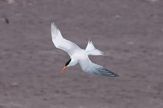 Elegant Tern (Thalasseus elegans) | by sussexbirder