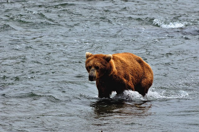 Spotting the First Brown Bear of the Day!