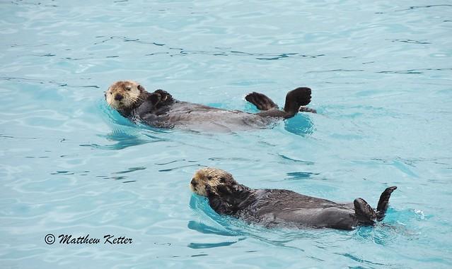 Sea Otters of Prince William Sound Alaska