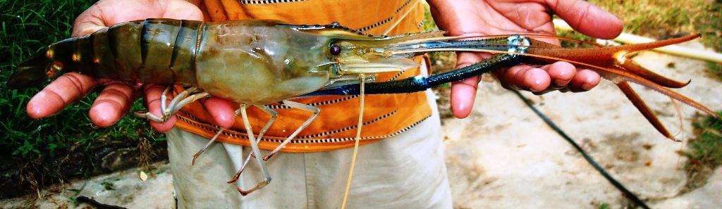 Adult orange claw male of giant freshwater prawn (Macrobra… | Flickr
