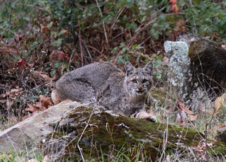 Bobcat, Los Padres National Forest, Santa Barbara County, California | by Yankee Barbareno