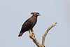 Long-crested Eagle, Sakania, DRC by Terathopius