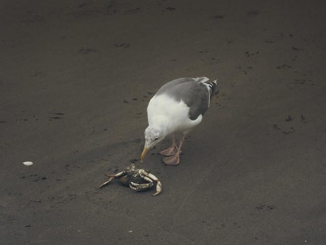 seagulls and crab on Ocean Beach, San Francisco (2012)