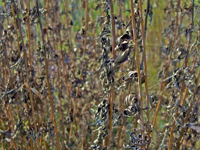 Prairie Plants   ... Dane County, Wisconsin