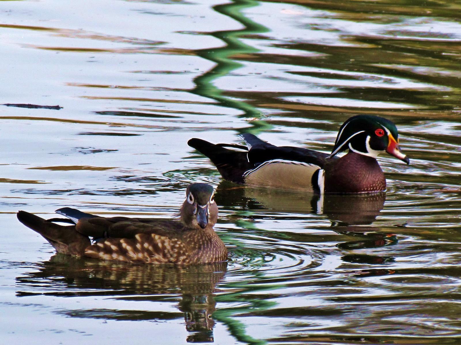 Roeding Park - Wood Duck Pair