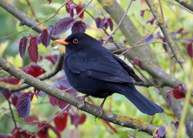 Blackbird (01)