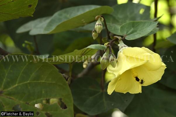 39638 A Flowering Sea Hibiscus Hibiscus Tiliaceus Tree I Flickr