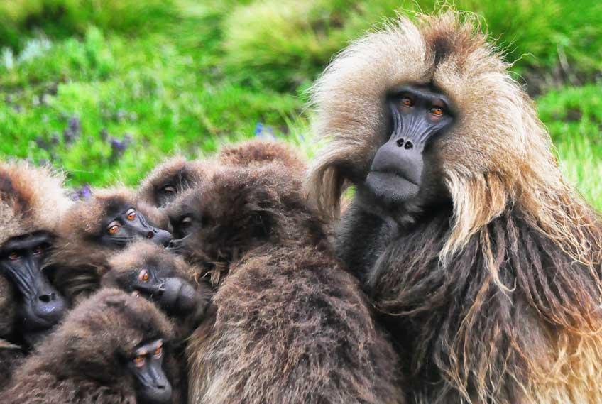 Gelada Baboons, Simien Mtns