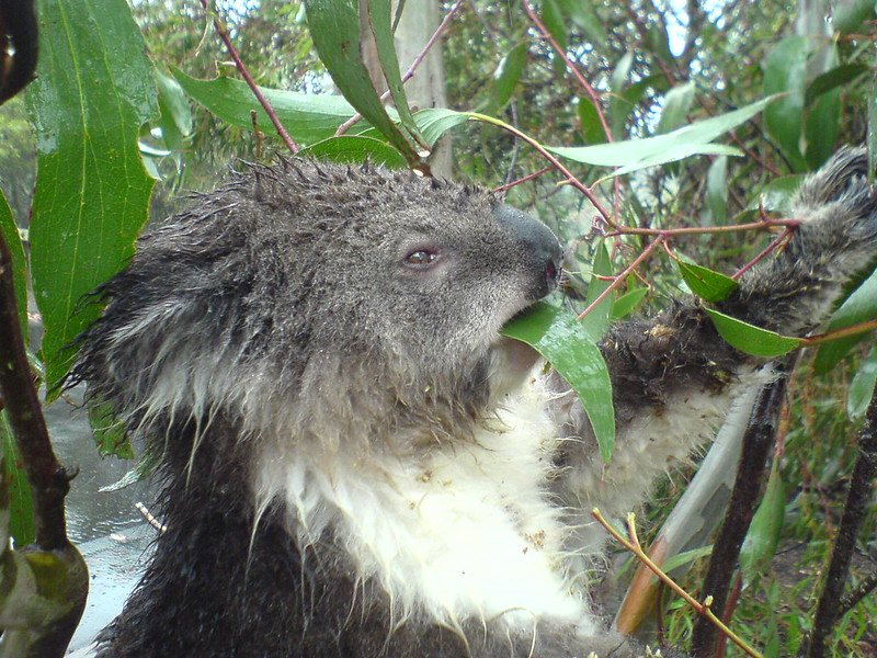 Wet koala eating