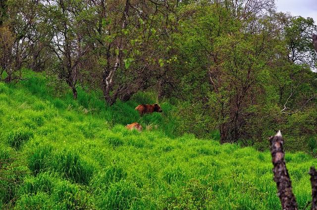 Brown Bears in a Grassy Meadow Hillside