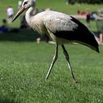 Storch im Louisenpark