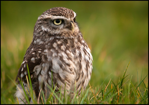 Little Owl | by Michael Brace