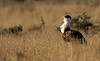 Great Indian Bustard by Nitin's Photography