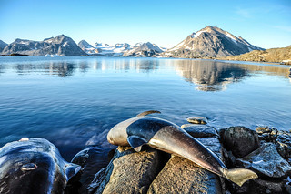 My_1st_impressions_Greenland whale hunting-2 | by My 1st impressions