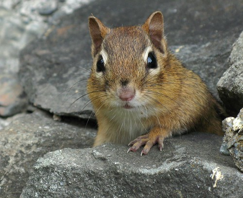 Tamia rayé -- Eastern chipmunk | by Gilles Gonthier