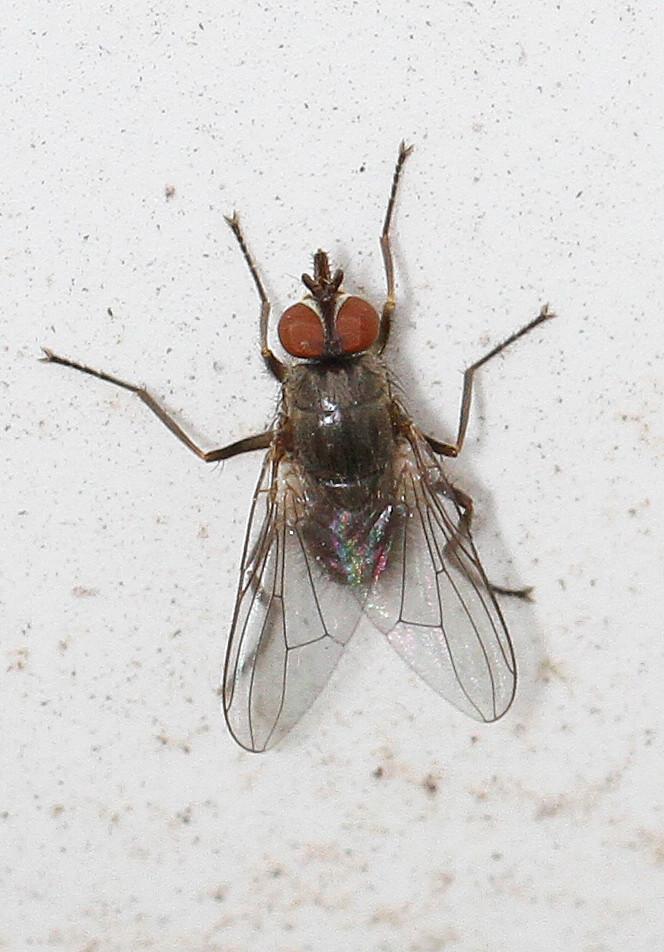 Horn Fly - Haematobia irritans, Babcock-Webb Wildlife Management Area, Punta Gorda, Florida