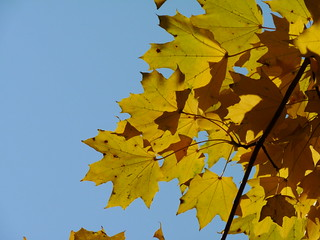 Norway Maple leaves | by Dendroica cerulea