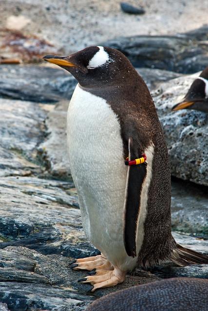 Penguin_In_Zoo 1.1, Bergen, Norway