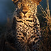 Image: Leopard of the Night