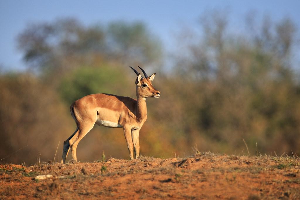 Image: Impala on the Hill
