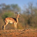 Impala on the Hill