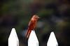 Gibão-de-couro - Hirundinea ferruginea - Cliff Flycatcher. by Carlos Vieira.