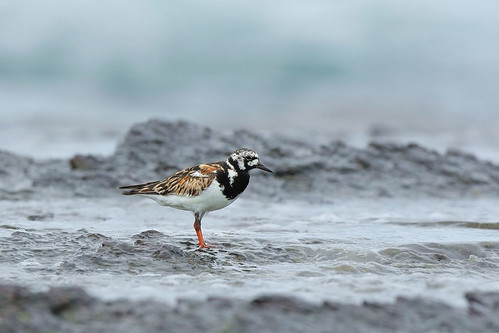翻石鷸   Ruddy Turnstone (キョウジョシギ) | by Hiyashi Haka