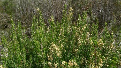 Pomaderris phylicifolia   by John Tann
