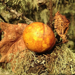 Oak Gall | by amckimmey