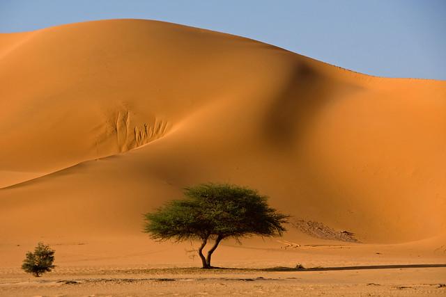 Photogenic acacia in Tadrart