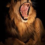 Ximpoko Yawn