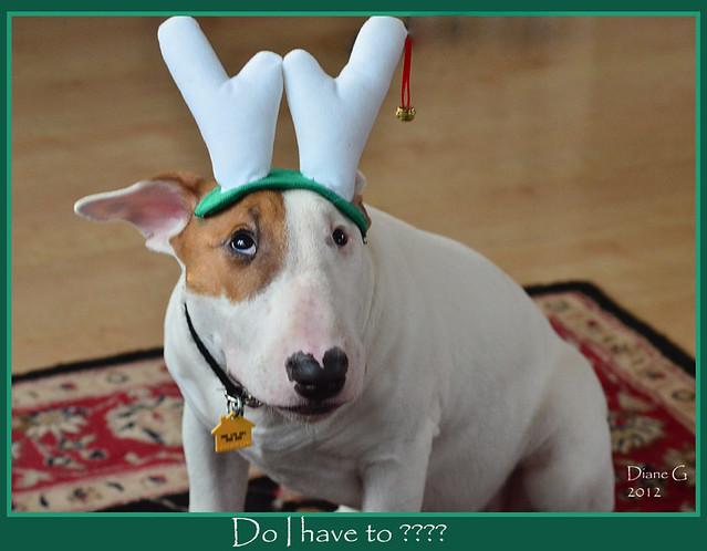 Ollie The Bull Terrier