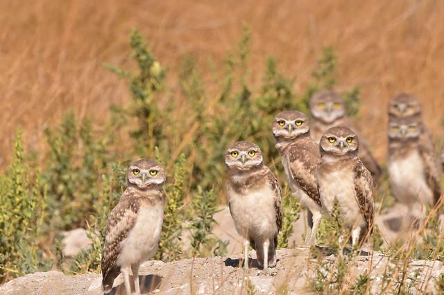 Burrowing Owls late brood 1