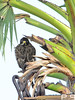 White-eyed Buzzard (Butastur teesa) by prasanth2406