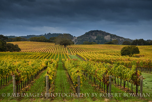 california trees fall lines clouds oak vines nikon post wine hills vineyards rows grapes sonomacounty hillside winecountry oaktrees alexandervalley bobbowman rmbimages robertbowmanphotography