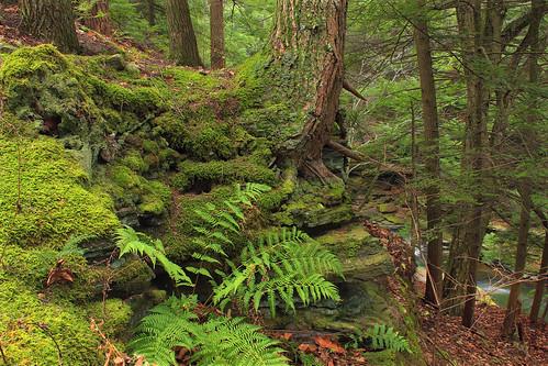 autumn trees plants nature forest moss rocks hiking pennsylvania creativecommons vegetation ravine ferns wyomingcounty undergrowth hemlocks endlessmountains understory clintontownship easternhemlocks southbranchtunkhannockcreek countrysideconservancy littlerockyglen