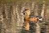 Wandering Whistling Duck (Dendrocygna arcuata) by matthewjonesphotography.com