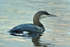 Black-throated Loon - Gavia arctica by SimonBrumby