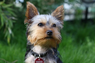 Yorkshire Terrier | by itarife