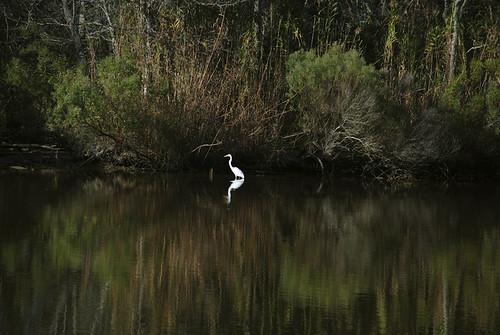 green water birds reflections louisiana egret averyisland