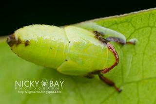 Leafhopper nymph (cf. Krisnini) - DSC_1559