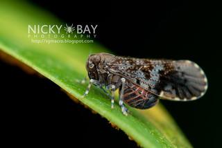 Planthopper (Cixiidae) - DSC_1673