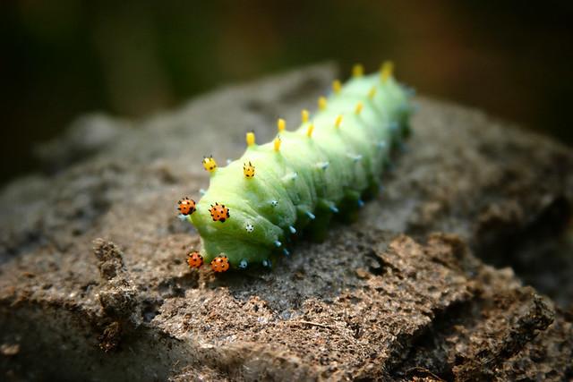 Man-Eating Caterpillar