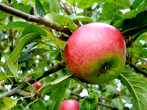 Cider apple | by Mexicanwave