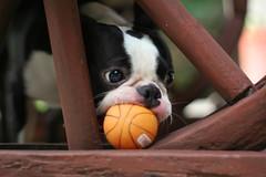 Playful Hondo