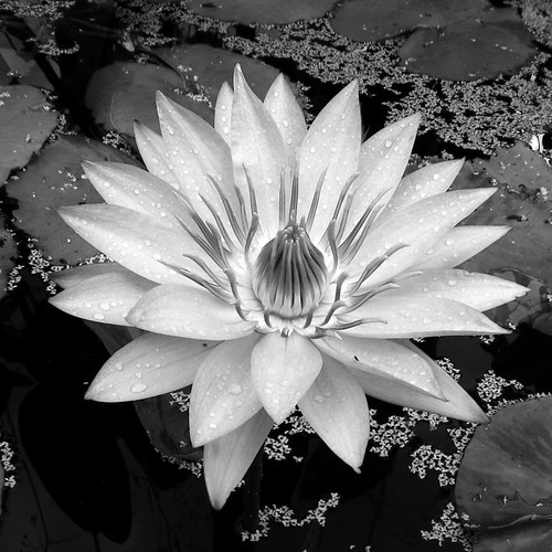 Water Lilly | by jeffsmallwood