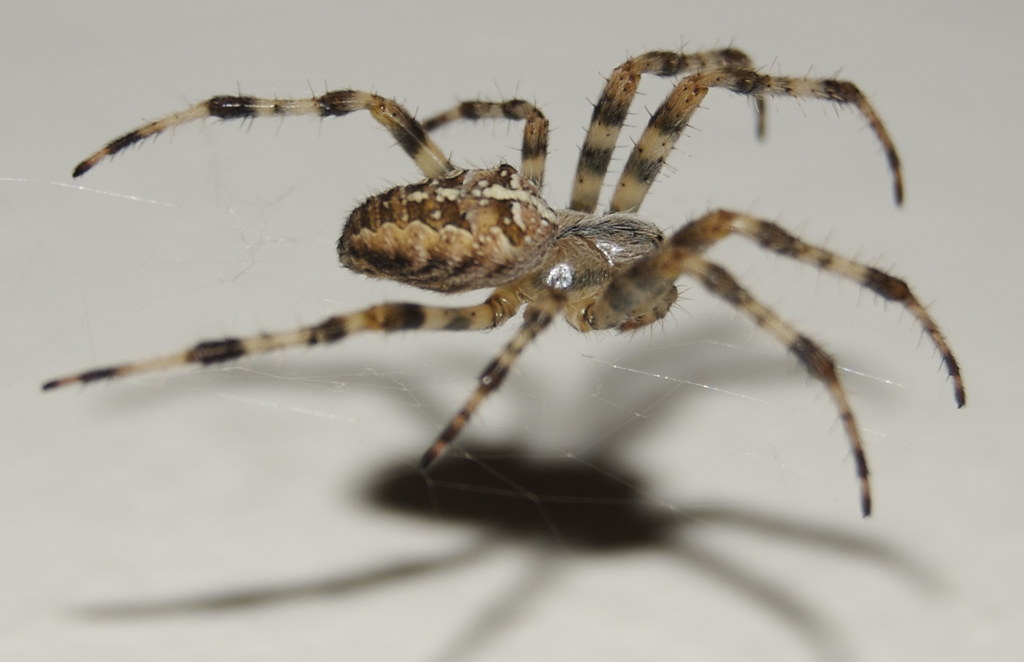Können Spinnen Fliegen