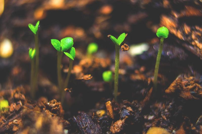 Oregano Sprout