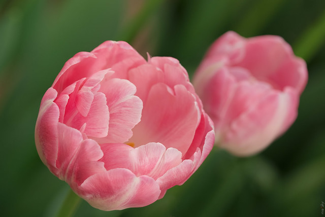 RUS66747(Beauty of Flowers. Tulips)