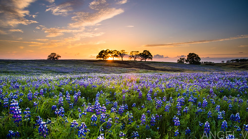 flowers sunset trees california spring norcal superbloom